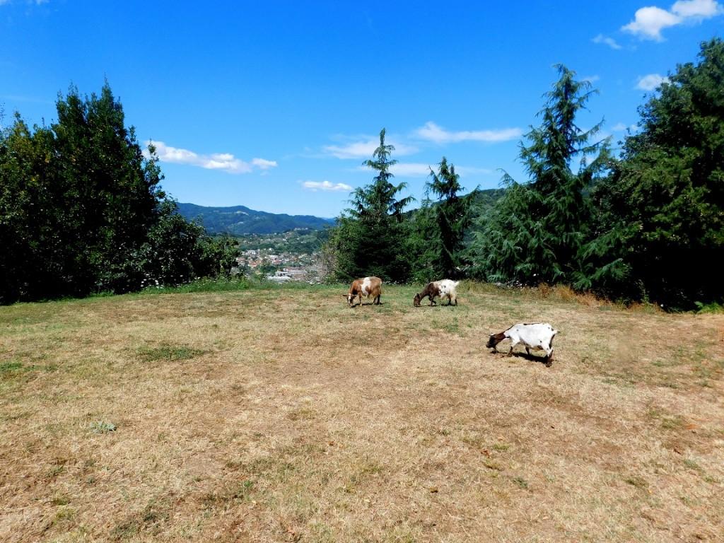Goats in Caprigliola